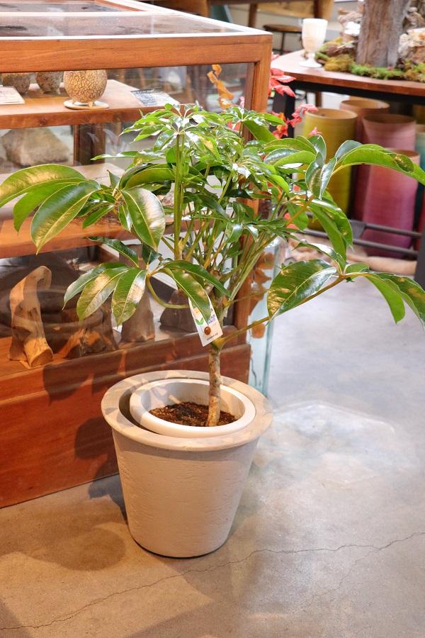オシャレ観葉植物